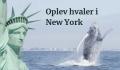 Se hvaler ud for New York – pukkelhvaler flokkes til Hudsonflodens udløb