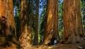 Sequoia træer i Sierra Nevada – anbefaling af overnatning i Three Rivers